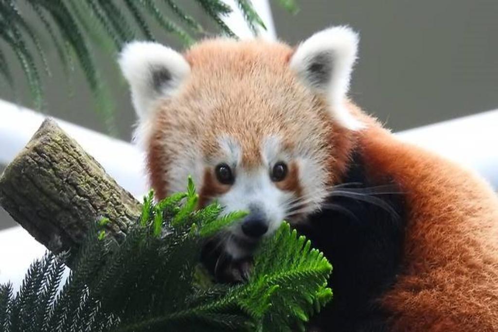 keta-red-panda
